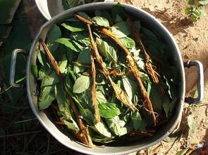 L'ayahuasca, breuvage utilisé depuis probablement au moins 4000 ans