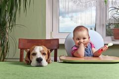 La présence d'un chien réduit le risque d'allergie de 90%