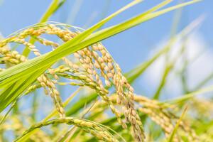 Une concentration plus élevée de CO2 conduit à une diminution certaine de la teneur du riz en vitamines.