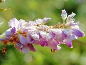 L'extrait de Desmodium adscendent est efficace contre les intoxications hépatique.