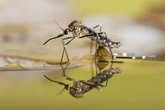 Les orages et les chaleurs favorisent la reproduction des moustiques.