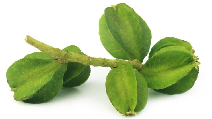 Terminalia arjuna, utile contre le diabète de type 2