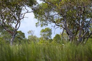 Le cajeput, originaire de l'Asie du Sud-Est et du nord de l'Australie