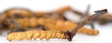 Le Cordyceps sinensis momifie les larves sur toute leur longueur.