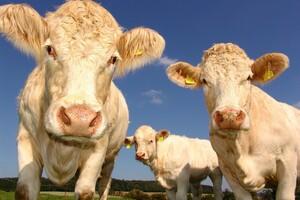Tout le règne du vivant pourrait-être affecté, y compris les vaches