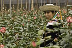 La production de roses en équateur, facteur d'exposition aux pesticides