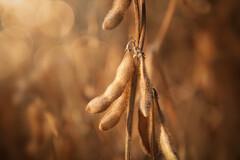 La nattokinase est formée lors de la fermentation du soja jaune.