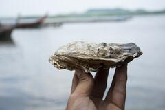 Une sélection d'huîtres du Connemara riches en zinc utilisées pour des compléments alimentaires.