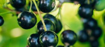 Goutte: des plantes pour remettre le pied par terre - Alternative Santé