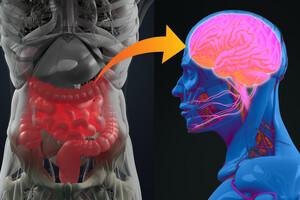 Les bactéries intestinales saines produisent des substances cérébrales indispensables