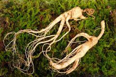 Plante de sous-bois, le ginseng a besoin d'ombre et d'un sol humide et léger.