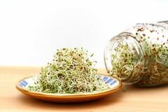 graines germées de luzerne (alfalfa)