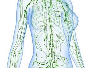 1,5 à 2 litres de lymphe circulent dans le réseau lymphatique