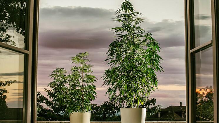 Légalisation du cannabis thérapeutique : la France entre retard et espoir