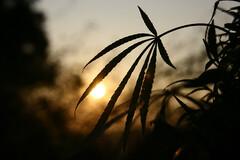 Cannabis thérapeutique : focus sur trois pathologies graves