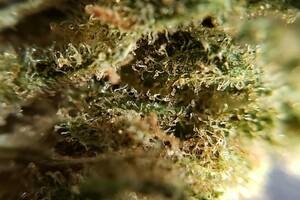 Cannabis sativa L. : aussi fascinante qu'inquiétante
