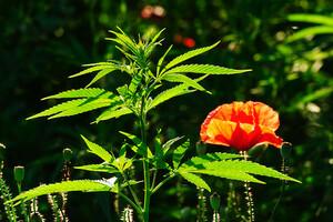 Le cannabis thérapeutique, pourquoi s'en priver?