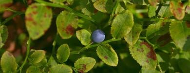 Les phénols des feuilles de myrtille ont la capacité d'endiguer les dommages causés par le diabète aux petits vaisseaux sanguins.
