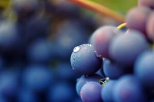 Le resvératrol se concentre dans la peau du raisin.