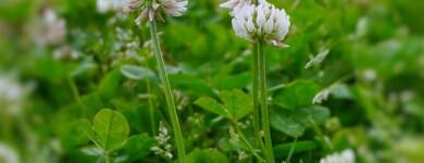 La racine de l'astragale est utilisée en médecine chinoise comme fortifiant et revitalisant.