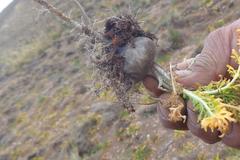 La maca (Lepidium peruvianum) pousse dans les Andes du Pérou.