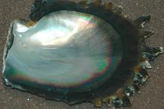 pinctada maxima