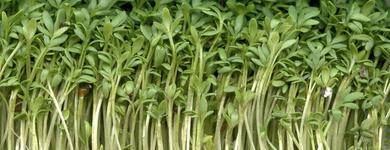 Cresson alénois (Lepidum sativum)