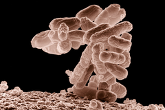 Escherichia coli, une bactérie naturellement présente dans l'intestin