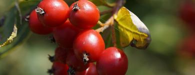 Fruit d'aubépine (Crataegus oxycantha)