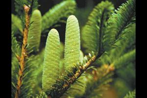 Abies beshanzuensis dans la réserve du Baishanzu Photo: Raúl González Molina