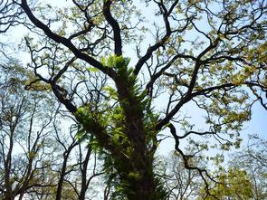 On extrait le ptérostillbène du coeur de du Pterocarpus marsupium