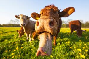 Une mycobatérie parasitaire présente chez les bovins pourrait avoir un rôle dans la maladie de Crohn.