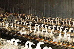 La face cachée du foie gras - Photo : farmsanctuary.org