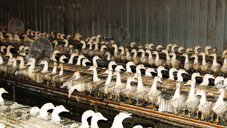 La face cachée du foie gras - Photo : farmsanctuary.org  - Alternative Santé