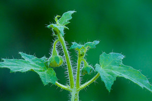 L'effet diurétique de certaines plantes peut être utilisé dans les cas de calculs rénaux.
