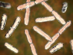 L'amoxicilline divise par deux le taux de Bifidobacterium bifidum chez l'enfant