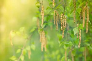Pollen de bouleau, un des plus allergènes