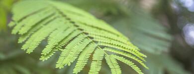 Les bienfaits du moringa reposent essentiellement sur sa richesse nutritionnelle exceptionnelle.
