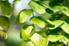 En cas d'hépatite, le desmodium est la plante par excellence.