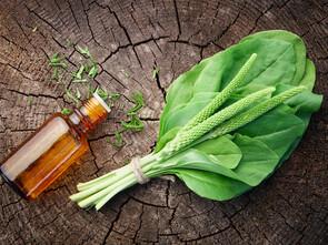 Le plantain, grand anti-inflammatoire et anti-allergique respiratoire.