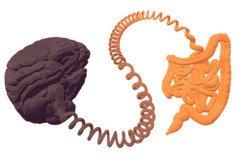 Les liens intestin-cerveau sont aujourd'hui bien documentés