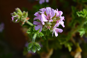 Pelargonium gravelens, à la fois tonifiantes et apaisante pour le psychisme