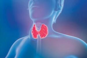 Les hormones thyroïdiennes stimulent l'oxydation de la graisse brune.