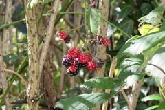 Le framboisier est la plante de la femme : il apporte de nombreux bienfaits sur l'équilibre de la santé féminine.