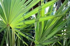 Le palmier nain de Floride est utile pour diminuer les risques prostatiques.
