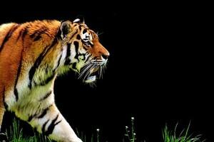 Le baume du tigre trop efficace pour qu'on le laisse libre