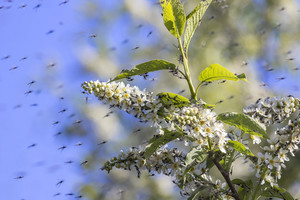 Combattre le virus Zika avec les plantes, solution d'avenir ?
