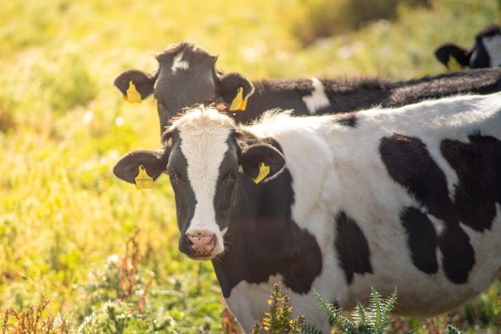 Antibiorésistance animale: les médecines naturelles victimes d'une stratégie sanitaire paradoxale